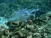 Blue Fin Trevally, Rarotonga