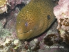 Giant Moray Eel - diving Rarotonga