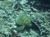 Green Turtle on dive in Rarotonga