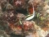 Moorish Idol on scuba dive in Rarotonga