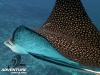 Spotted eagle ray in Rarotonga