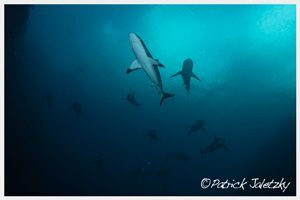 Grey reef sharkson advanced open water dive in Rarotonga