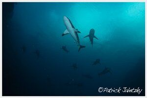 Grey reef sharkson advanced open water dive in Rarotonga