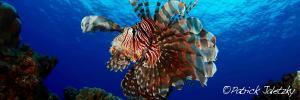 Lionfish on scuba dive in Rarotonga