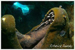 Giant moray eel on scuba dive in Rarotonga