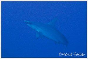Hammerhead shark on scuba dive inRarotonga, Cook Islands