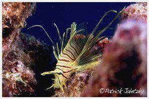 Scuba dive Rarotonga - Juvenile lionfish -