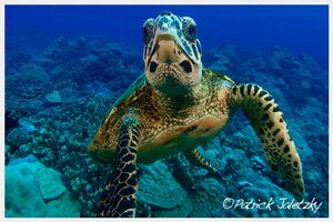 Turtle in Rarotonga during PADI Open Water Diver course