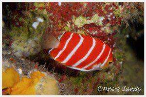 Peppermint angelfish on deep dive in Rarotonga