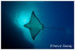 Spotted eagle ray on dive course in Rarotonga