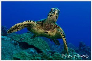 Turtle on snorkel trip in Rarotonga