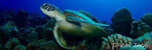Green trutle on scuba dive in Rarotonga