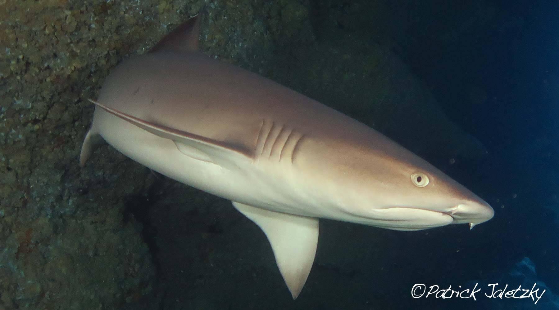 Whitetip reef shark on scuba dive in Rarotonga