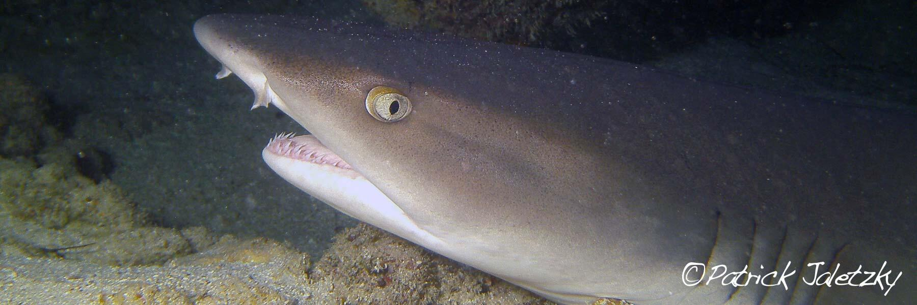 Whitetip reef shark on PADI dive course in Cook Islands
